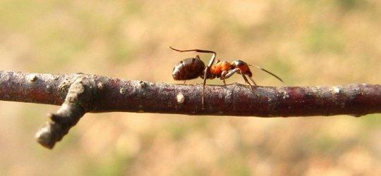 O mrówce outsider'ce